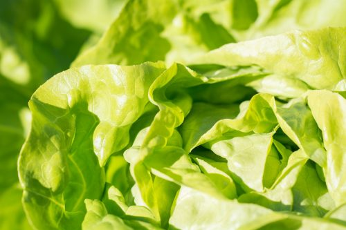 Aqualeaf Lettuce – Better for the environment and better for you